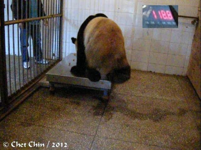 fuwa_weighing-bxp-120925
